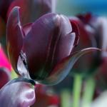 黒いチューリップ 花言葉 色 種類
