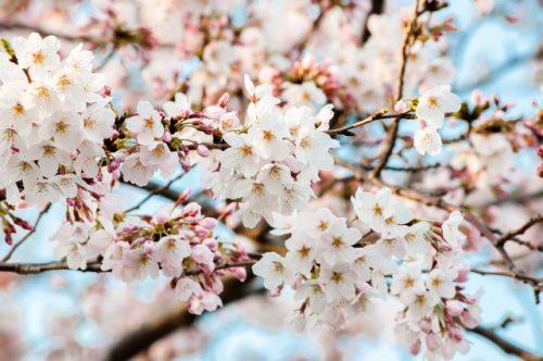 六義園 桜 花言葉