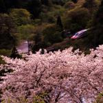 しだれ桜 盆栽 育て方 剪定