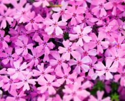 芝桜 庭 植え方