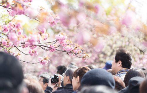 しだれ桜 六義園 楽しみ方