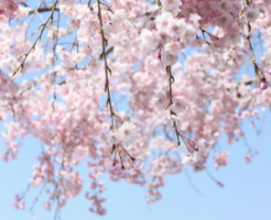 しだれ桜 育て方