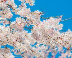 六義園 しだれ桜 種類