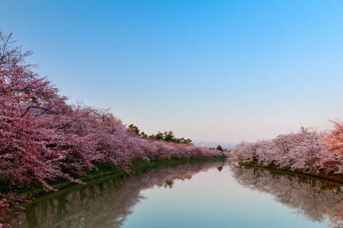 八重桜  日本 スポット
