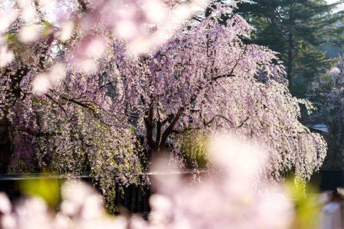 しだれ桜 種類 違い
