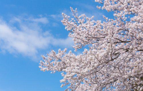日本 八重桜 歴史