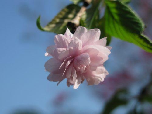 菊枝垂 画像 特徴