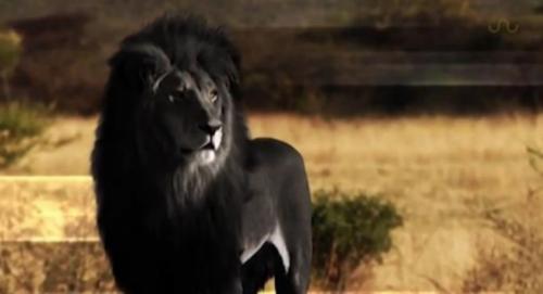 メラニズム ライオン
