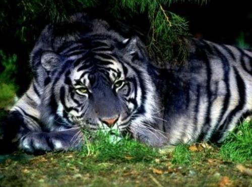 メラニズム トラ