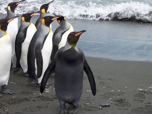 メラニズム ペンギン
