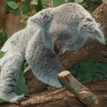 コアラ 睡眠時間 長い 理由