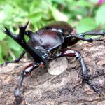 カブトムシ 幼虫 育て方