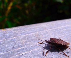 カメムシ 餌 幼虫 寿命