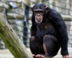 チンパンジー 肉食