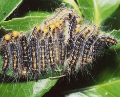 チャドクガ 幼虫 駆除方法