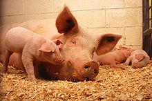 ペット 豚 飼い方