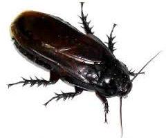 ゴキブリ 共食い 幼虫