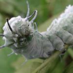 ヨナグニサン 幼虫 大きさ