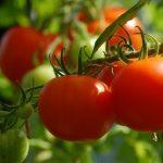 トマト コンパニオンプランツ 植え方