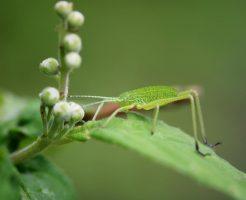 キリギリス 幼虫 餌