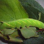 オオスカシバ 幼虫 毒