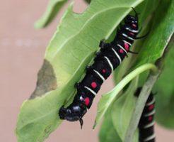オオゴマダラ 幼虫