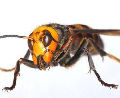 スズメバチ 女王蜂 見分け方