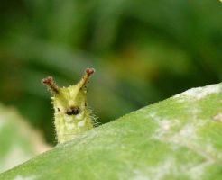 オオムラサキ 幼虫 飼育