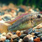 アフリカ 熱帯魚 種類
