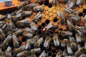 ミツバチ 女王蜂 選ばれ方 寿命
