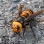 オオスズメバチ 外来種
