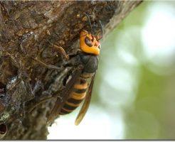 オオスズメバチ 女王蜂 大きさ