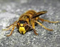 キイロスズメバチ 毒性 強い