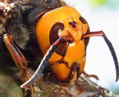 スズメバチ トラップ 誘引液