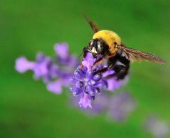 クマバチ 飛べない クマンバチ