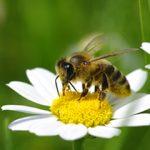 ミツバチ 針 刺す