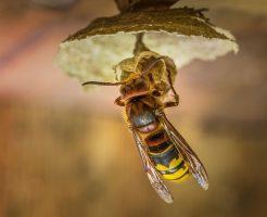 オオスズメバチ カマキリ 強い