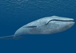 クジラの寿命で最長は200年、鯨とイルカの違いは寿命と大きさ