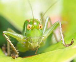 キリギリス 寿命 成虫