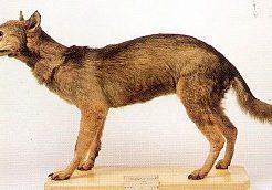 ニホンオオカミ 生存 目撃情報